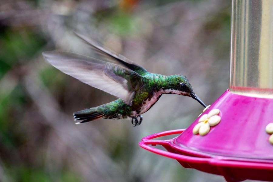 Flora en fauna: de kolibrie in Colombia