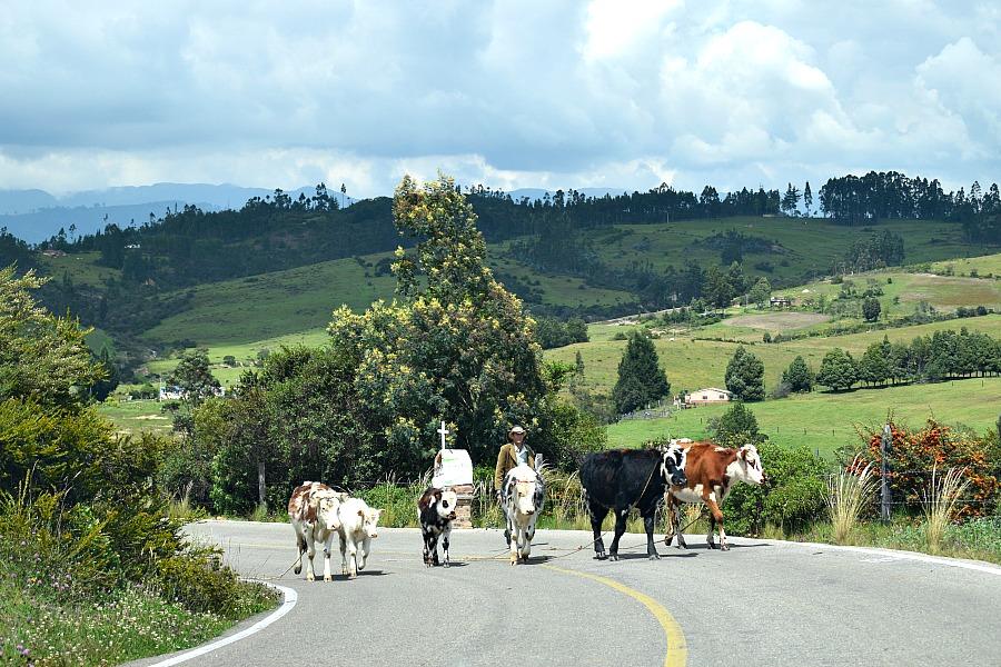 Een auto huren in Colombia - koeien op de weg