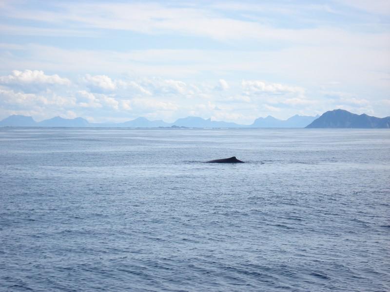 Potvis, De Lofoten, Noorwegen