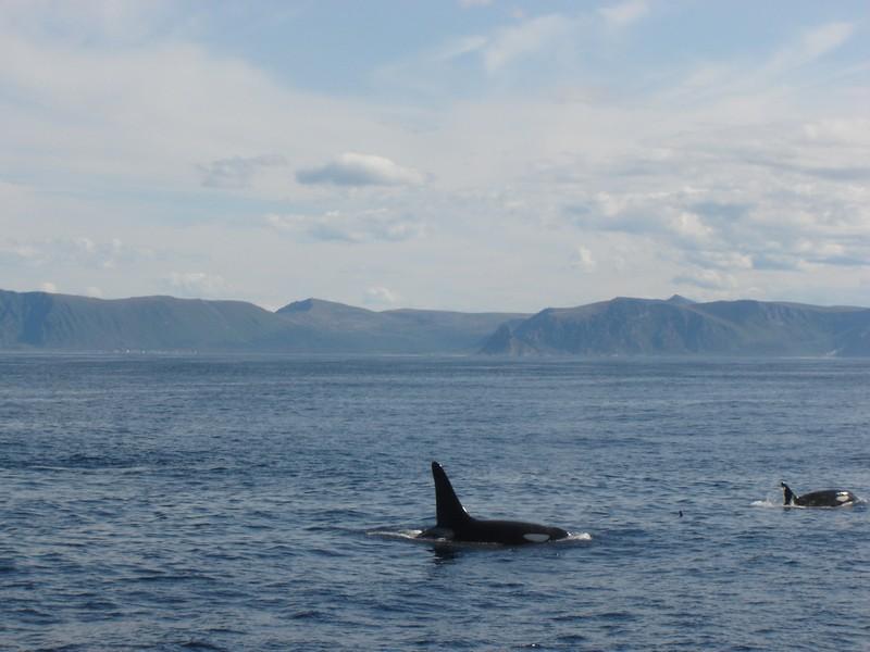 Orka, De Lofoten, Noorwegen