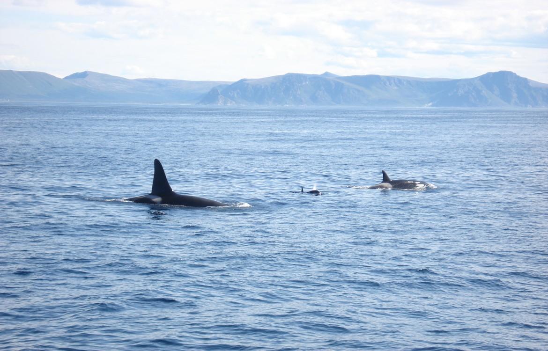 Reisfotochallenge: orka's spotten in Noorwegen