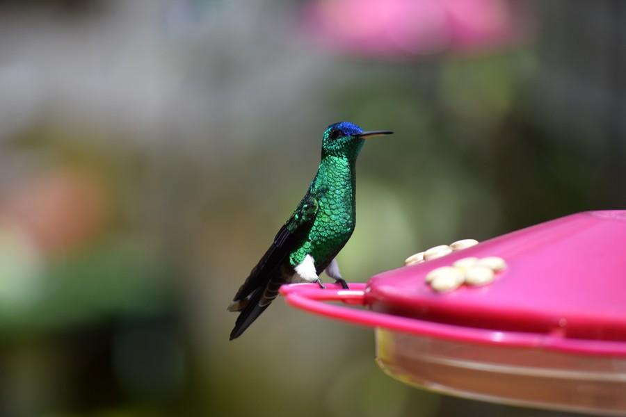 Kolibrie San Francisco, Colombia