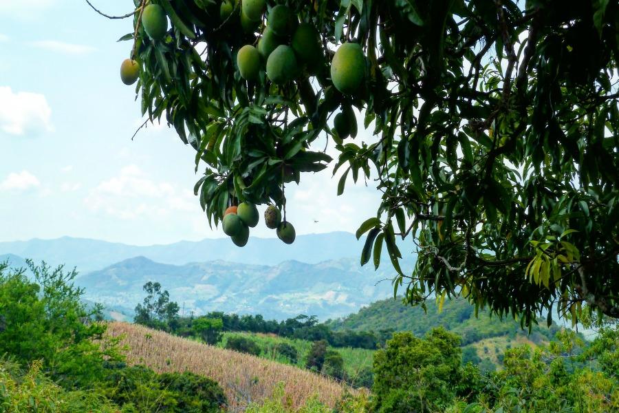 Colombia in kleur - groen - mango's