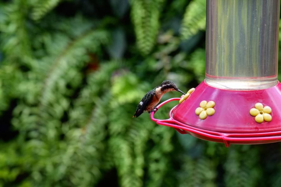 Colombia - kolibrie - fotografie