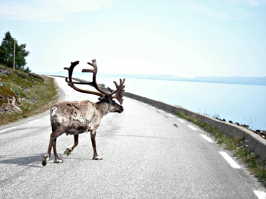 Noordkaap - Noorwegen - Rendieren