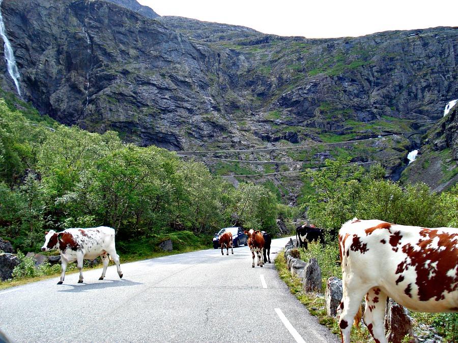 Koeien in de Azoren