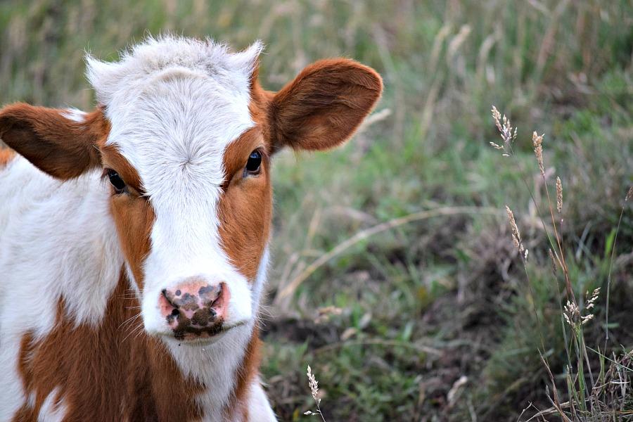 Colombiaanse koe
