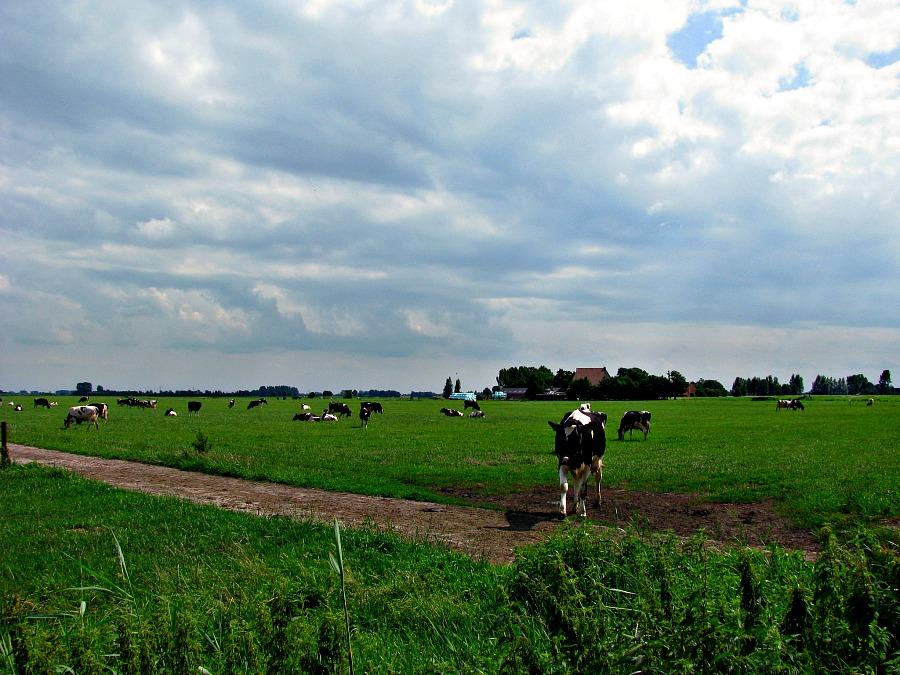 Koeien in Nederland