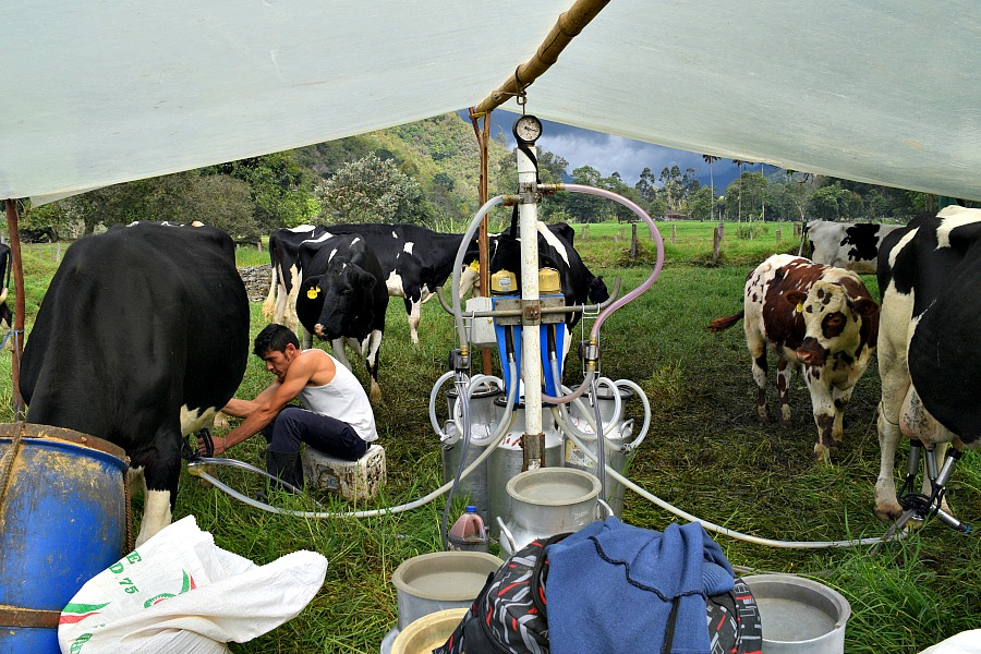 Kaas, melk e yoghurt maken, koeien melken