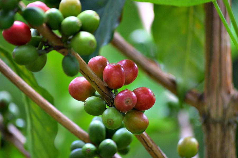 Koffiebonen Recuca Salento Colombia