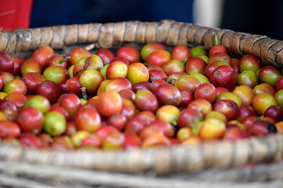 Koffiebonen - koffie tour El Ocaso - Salento Colombia
