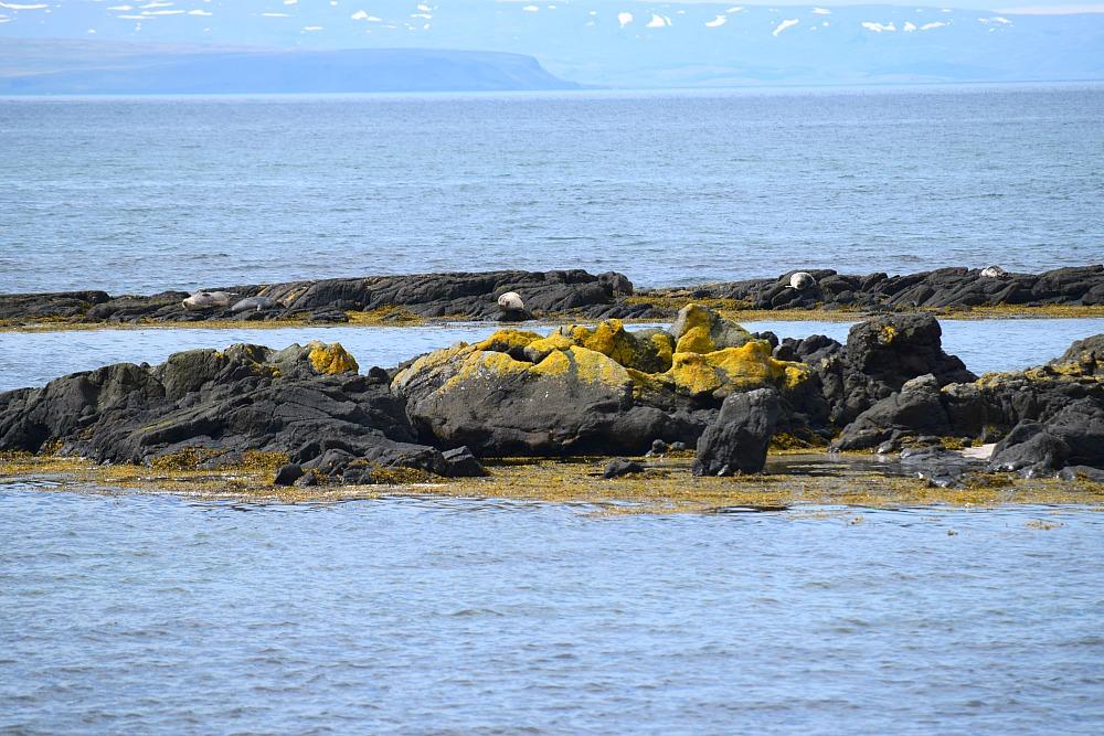 Zeehonden in IJsland - Svalbard