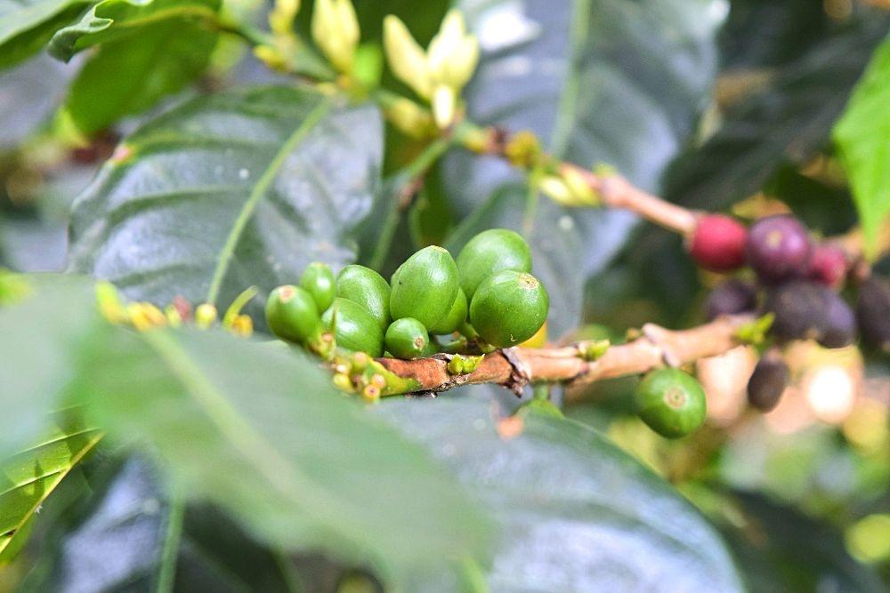 Koffie finca plantage Colombia San Agustín