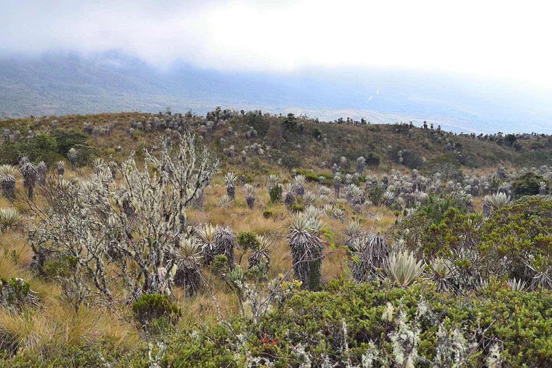 Frailejones páramo uniek ecosysteem Colombia