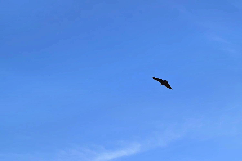 Condors spotten in Colca Canyon Peru