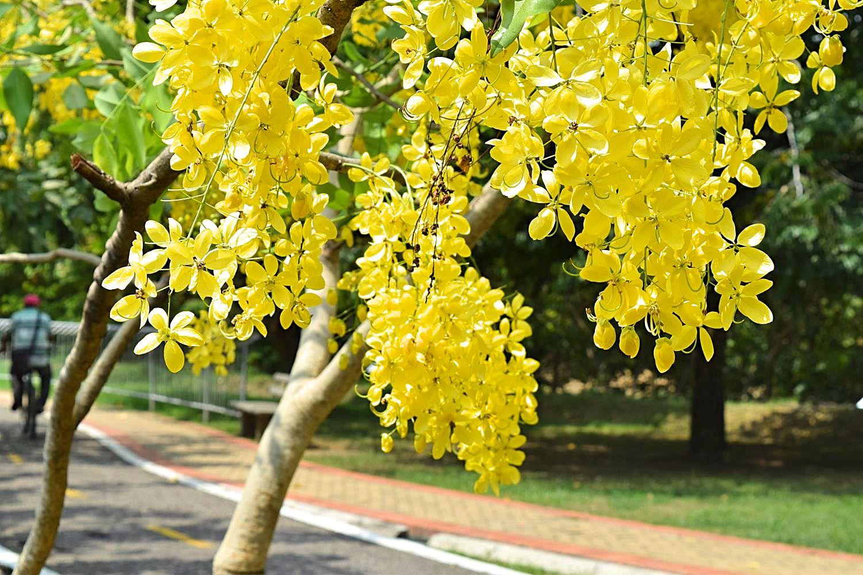 Gouden bomen Montería Colombia