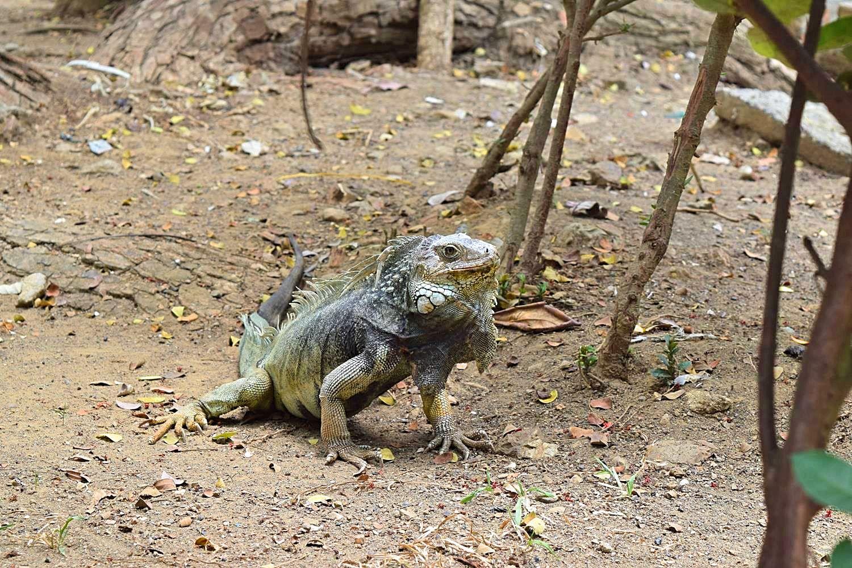 Leguanen Colombia Montería