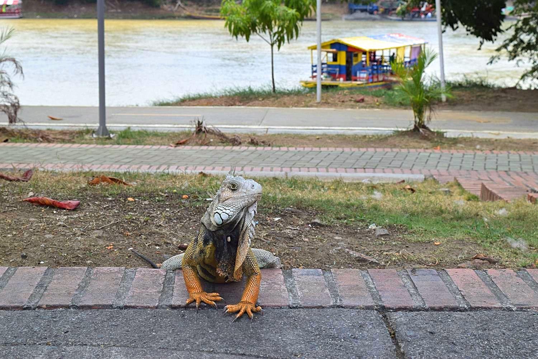 Leguanen natuur Colombia