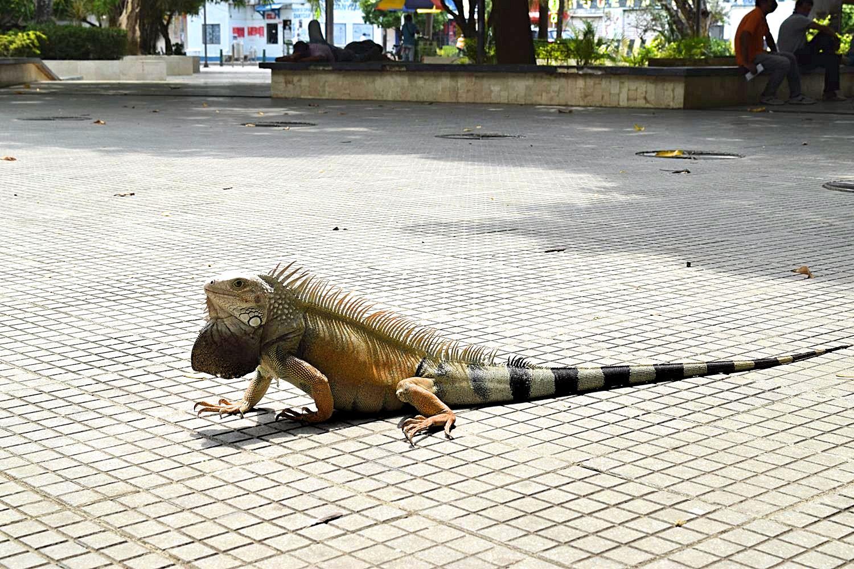 Leguanen zien Colombia