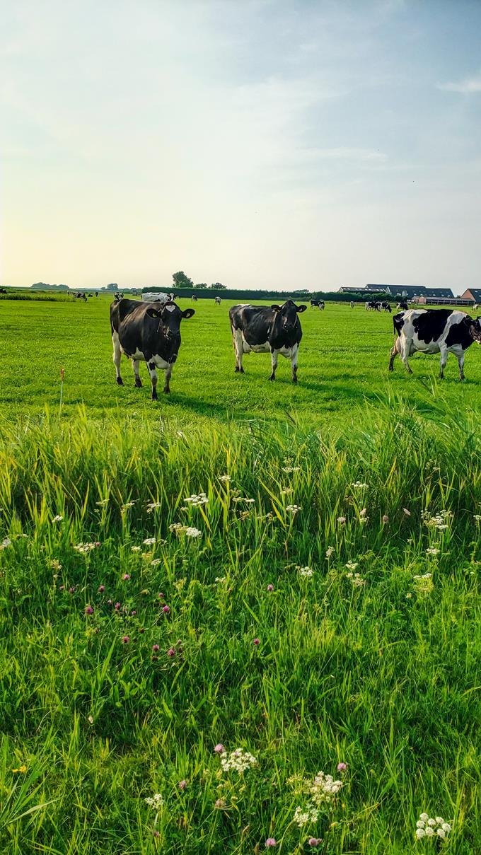 Koeien op Texel