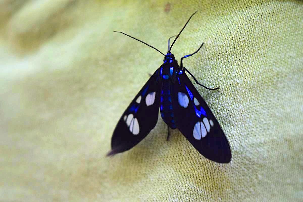 Blauwe vlinders Colombia