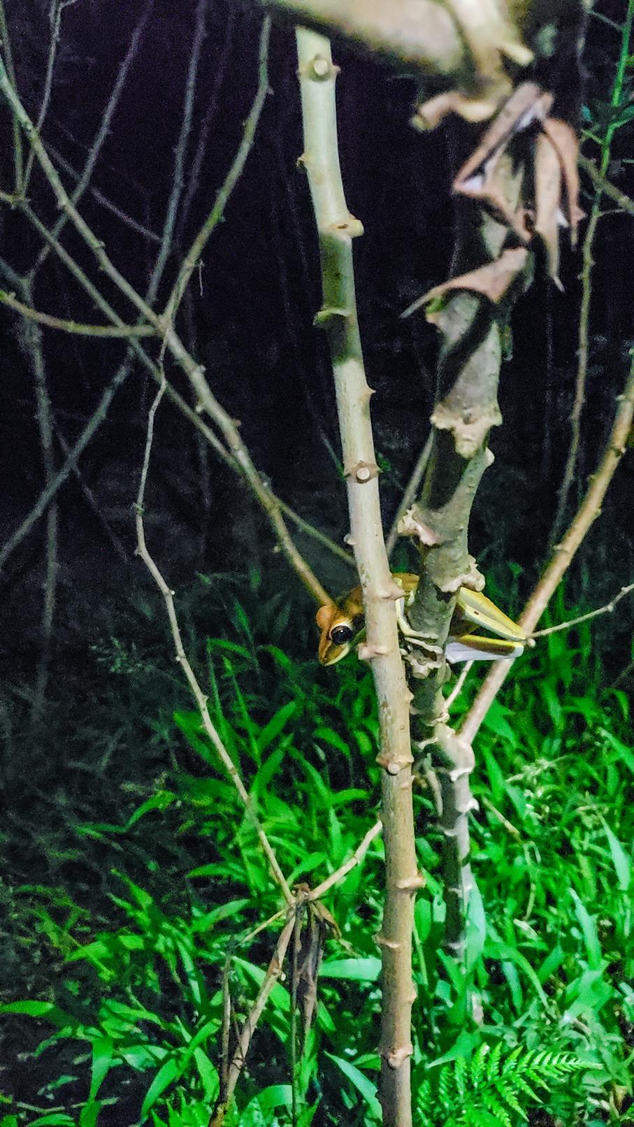 Boomkikker oranje Amazone gebied Colombia