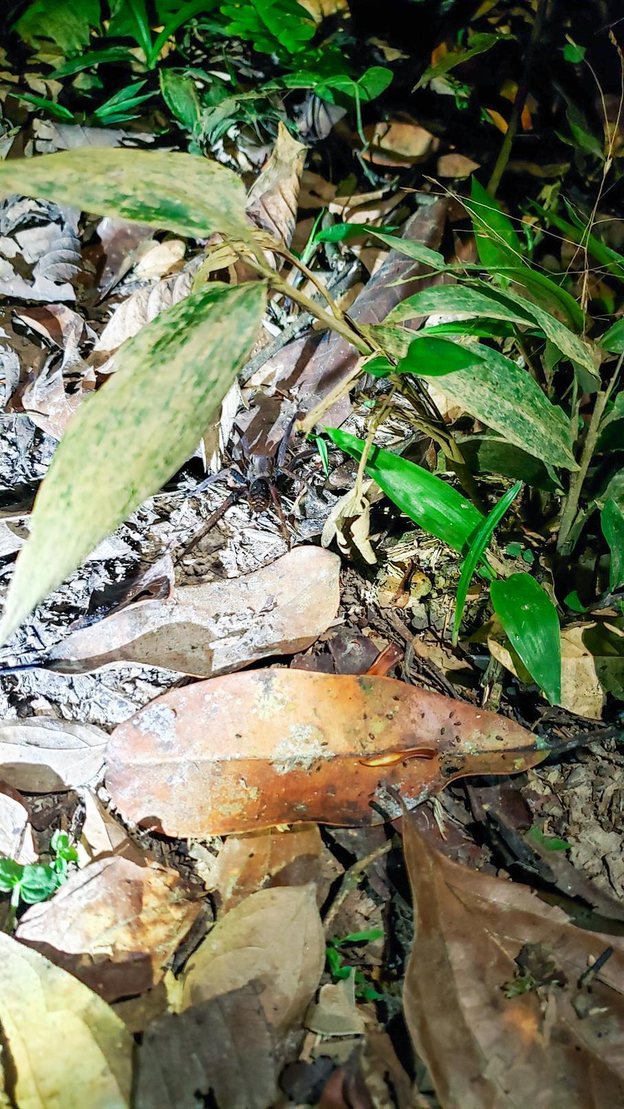 Tarantula Amazone gebied Colombia